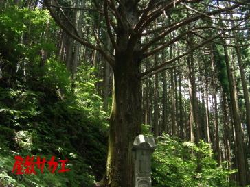 八百比丘尼の杉3