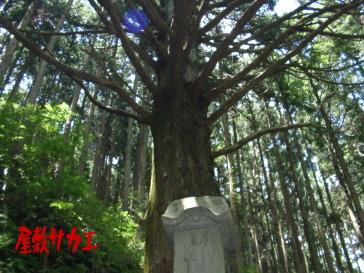 八百比丘尼の杉4