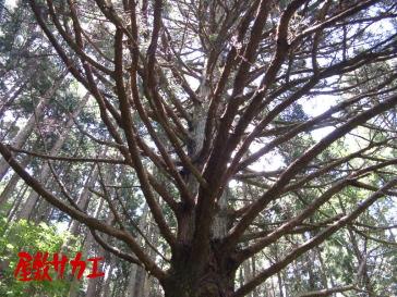 八百比丘尼の杉5