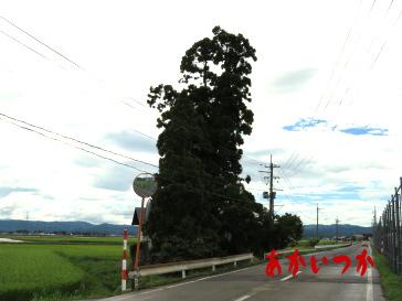 吉田一本杉2