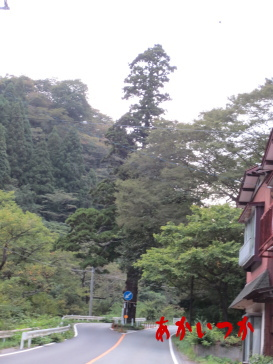 本山の一本杉の1
