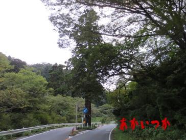 本山の一本杉の2