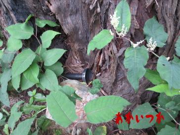 本山の一本杉の4