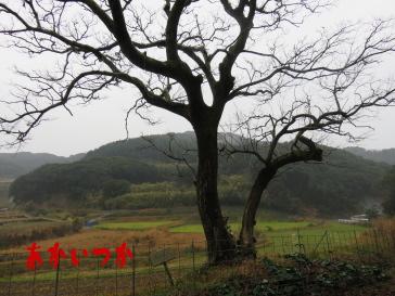 チチャの木3