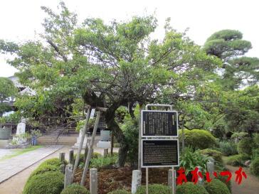 青梅の木2